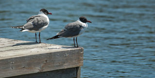 You First. Pair of Laughing Gulls on a dock at Shell Point in Florida royalty free stock photo