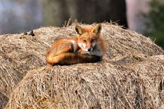 When you first wake up from a nap. A Red Fox just wakening from an afternoon nap, on a nice sunny cool day in early spring royalty free stock image
