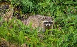 Raccoon with Startled and Surprised Look Royalty Free Stock Photos