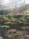 This is christmas tree plantation royalty free stock photography