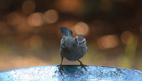 Are you listening? Catbird Royalty Free Stock Image