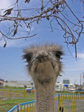 You Lookin' at Me?!. Ostrich in your face Royalty Free Stock Photo