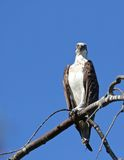 You lookin' at me?. An osprey guarding its nest makes sure the intruder knows she's being watched Stock Image