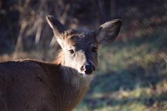 Are you looking at me?. Deer turning to the camera looking as if she just woke up Royalty Free Stock Photography