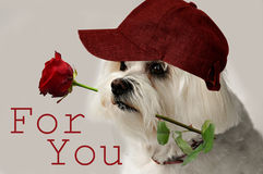 For you. Maltese dog with red rose in his mouth Royalty Free Stock Photo