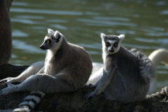 You & me. Pair of lemurs of madagascar royalty free stock photo