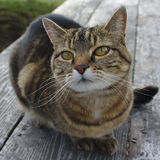 You are my Best Friend Cat Portrait. Tabby cat on a picnic table looks adoringly at the photographer. Perhaps she has tuna Royalty Free Stock Photo