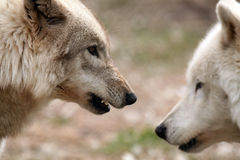 You Are In My Space. Closeup of two Timber Wolves.  Selective Focus on the dominant Wolf snarling at the other Stock Photography