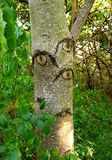 A Big-eyed tree royalty free stock photos