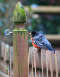 You new here?- Robin. Young Male Robin sitting w/left side view on a fence post and blur background posing question to fence hook Royalty Free Stock Photography