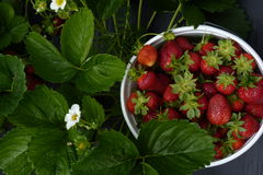 You-Pick-Em Strawberries. Fresh spring strawberries in a plastic pot Stock Images