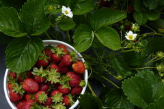 You-Pick-Em Strawberries. Fresh spring strawberries in a plastic pot Royalty Free Stock Photography