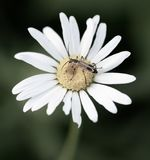 You`re a Daisy if you do stock photography