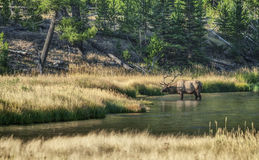 Large Male Elk takes a Drink in Yellowstone River. Male Elk with Large Antlers stops to take a Drink as he crosses a River in Yellowstone National Park Stock Photos
