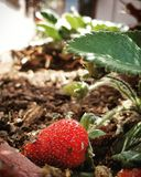 You Reep what you sow. Hard work and dedication can lead to great success. A beautiful strawberry ready to eat stock photo