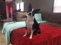 A five year old female Boston terrier stock photo