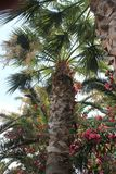 A Palmtree and pink flowers. You see a palmtree and pink flowers in Greece stock photo
