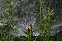 A spiderweb in green plants. You see a spiderweb in green plants. The background is blurry with raindrops Royalty Free Stock Images