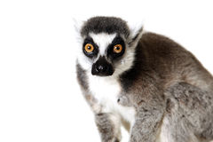 You Surprised Me. Studio portrait of a Ringtailed Lemur staring at the camera with a surprised expression Royalty Free Stock Photo