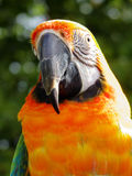 Are You Talkin' To Me?. Brilliantly colored Macaw (New World Parrot) looking for some good conversation royalty free stock photo