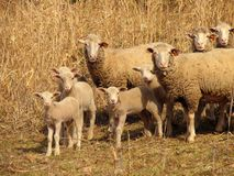 Are you talking to me?. Several sheep looking the same way Stock Photography