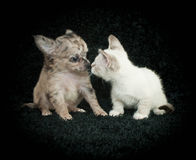 You talking to me!. Funny puppy and kitten that look like they are in an argument about something stock photos