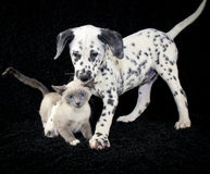 And You Thought You Had It Ruff. Funny puppy and kitten photo with a not so happy kitten playing with a Dalmatia puppy that just wants to be friends Royalty Free Stock Image