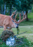 You Thru it Away. White tail buck caught eat garden refuse Stock Images