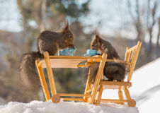 You want some milk. Close up of  red squirrels sitting on a chair on a table with cup Stock Photography