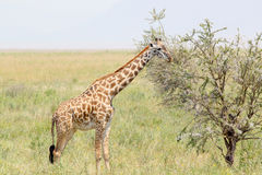 Youbg giraffe eating from a tree Stock Images