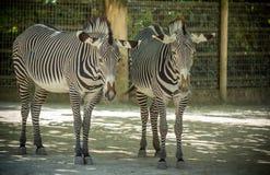 Youg两匹斑马在动物园里 库存照片