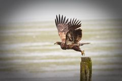 Youg Bald Eagle Royalty Free Stock Photos