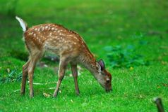 Youg deer grazing. A young deer is grazing in a park in germany Royalty Free Stock Photography