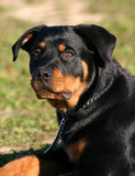 Young rottweiler. Puppy female of purebred mastiff rottweiler sitting outside Stock Images
