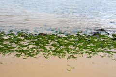 Youghal bright green seaweed Royalty Free Stock Photo