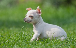Youmg Chihuahua dog sitting on the grass. A young Chihuahua sittging on the grass looking to the left Stock Photo