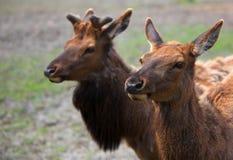 Youn男性和母北美驯鹿 免版税图库摄影