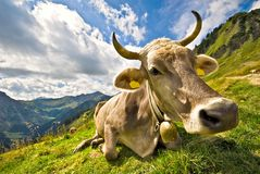 Youn cow Royalty Free Stock Images