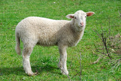 Youn sheep Royalty Free Stock Images