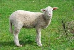 Youn sheep. View of a young sheep staring at the camera royalty free stock images
