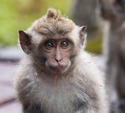 Yound短尾猿猴子 库存图片