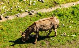 Yound śliczny koński karmienie z trawą na pięknej łące w Ajaccio, Corsica obrazy stock
