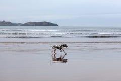 Yound Dalmatian dog on the beach Stock Photos
