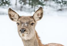 Yound Deer Looking Concentrate on Something Ahead the Way. Clsoe up on the head only royalty free stock photos