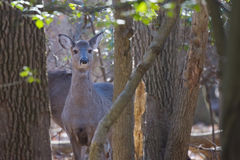 Young Deer in woods looks on Royalty Free Stock Photography
