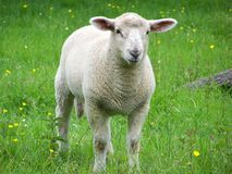 A yound ewe in a field. A sheep in a field in summer royalty free stock image
