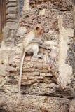 Yound małpi i stary budynek Fotografia Stock