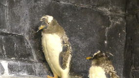 Yound penguins in. Two young penguins filmed in 4K Ultra HD stock video
