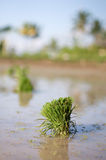 Yound rice plants Stock Image