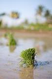 Yound riceväxter Fotografering för Bildbyråer